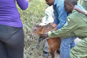 the guards park assisted by veterinary doctor leave out the Duiker in the forest bush