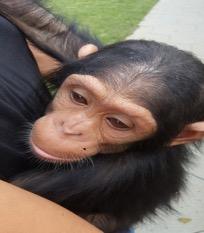 texte du site web Un bébé chimpanzé sauvé d - EN